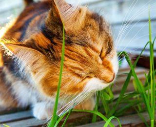 L'Herbe à chats et ses effets sur le chat