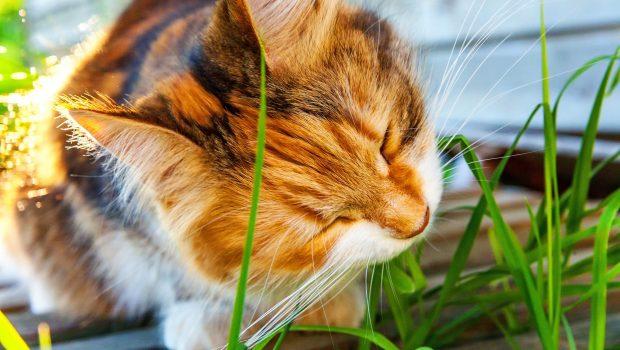 Herbe à chat ou cataire : quelles différences et quels effets sur les chats ?