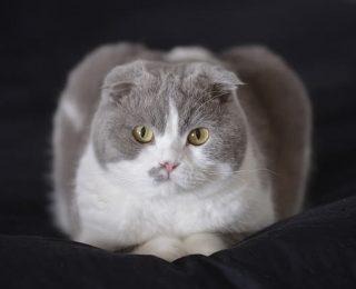Top 10 des races de chats originales et rares