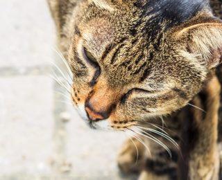 Les parasites du chat