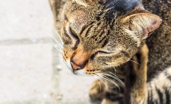 Liste des parasites du chat