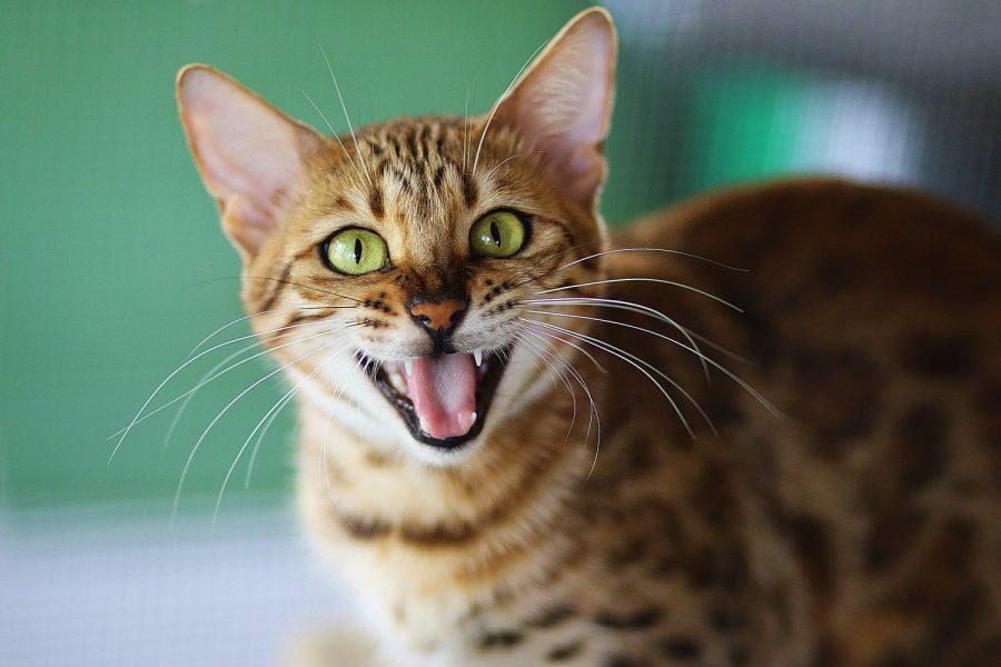 Pourquoi mon chat crache-t-il ?