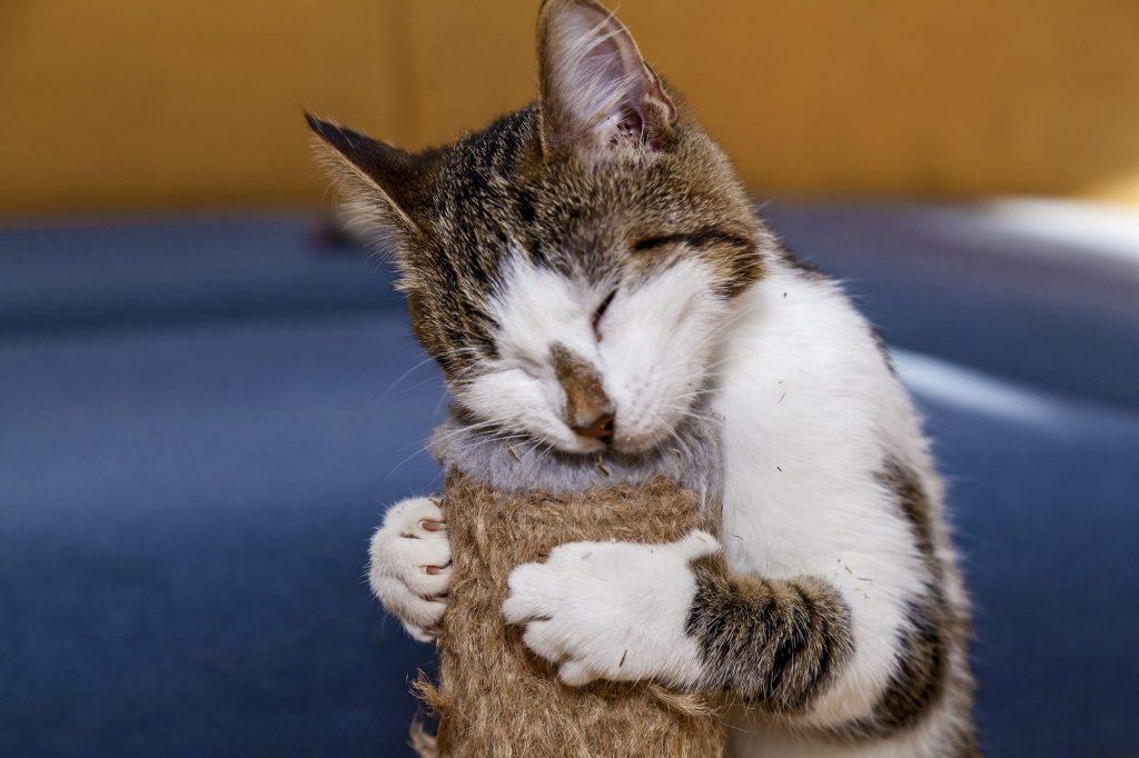 chat se frotter sur grattoir