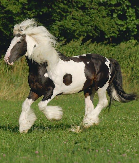 cheval gipsy