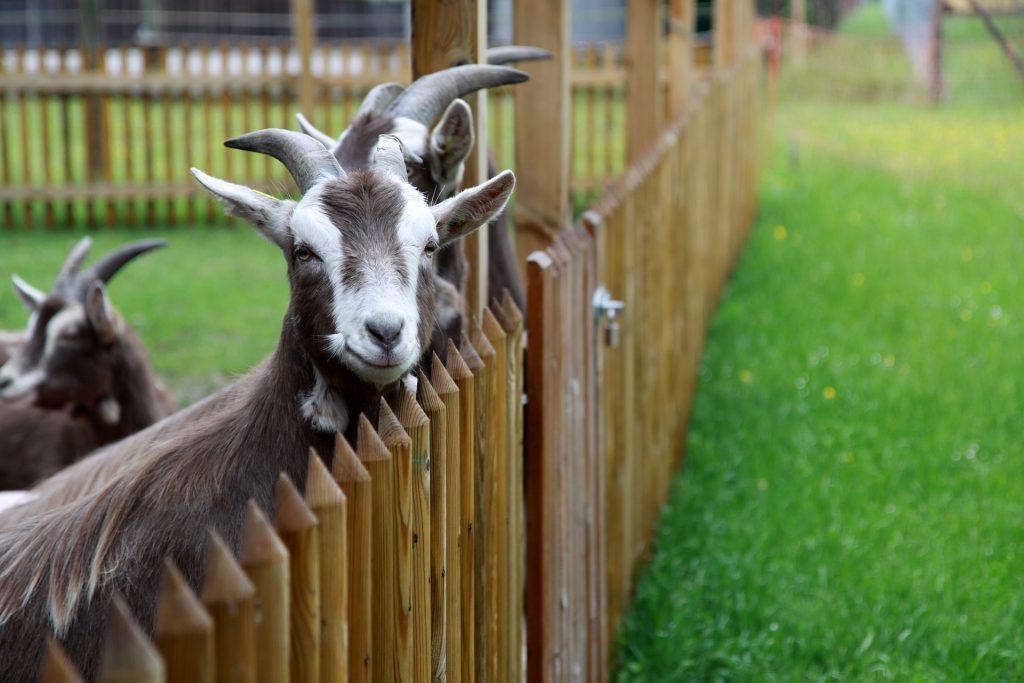 Chèvre naine derrière une clôture
