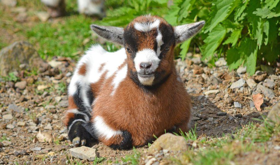Adopter une chèvre naine : ce qu'il faut savoir