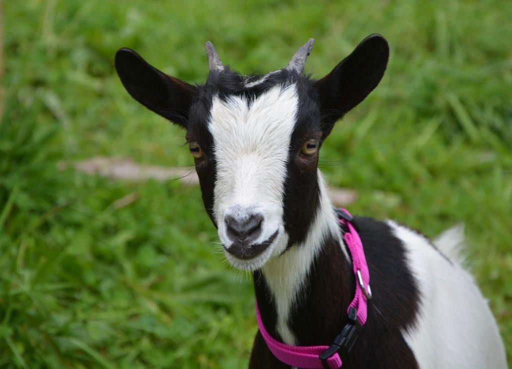 Chèvre naine noire et blanche