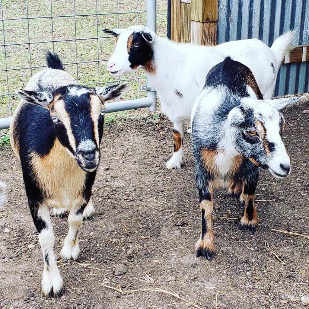 Chèvres dans enclos