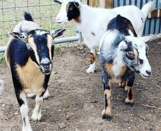 Adopter une chèvre naine : 5 choses à savoir