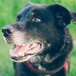 10 Raisons d'adopter un chien âgé