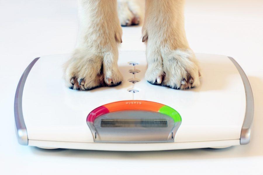 Surveiller le poids de son chien pour le maintenir en bonne forme