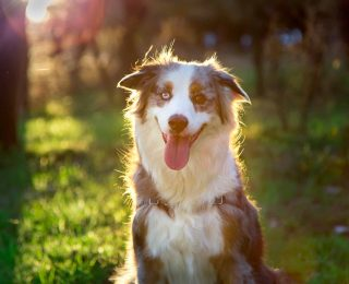 La stérilisation du chien : avantages et inconvénients