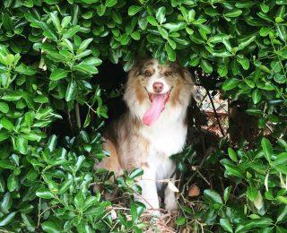 Coup de chaud chez le chien : symptômes et précautions