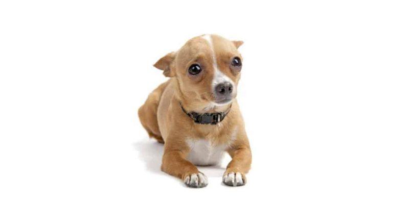 Pourquoi mon chien a-t-il les oreilles aplaties ?