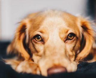 Âge des chiens : quel âge humain ont-ils ?