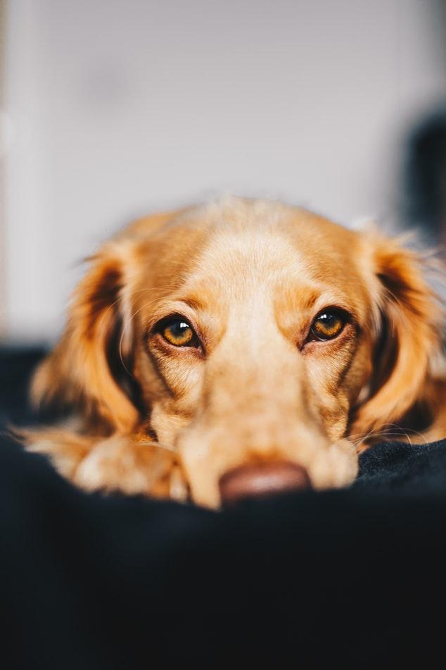 chien qui se repose