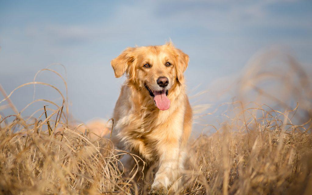 chien golden retriever