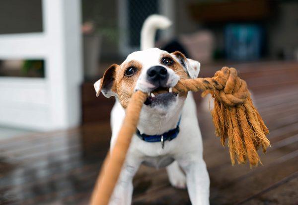 Tirage de corde : jeu pour chien