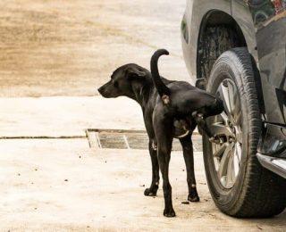 Pourquoi les chiens urinent sur les roues des voitures ?