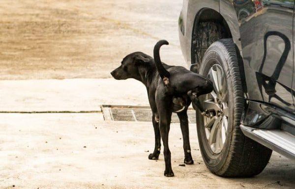 Pourquoi mon chien urine sur les roues de voitures ?