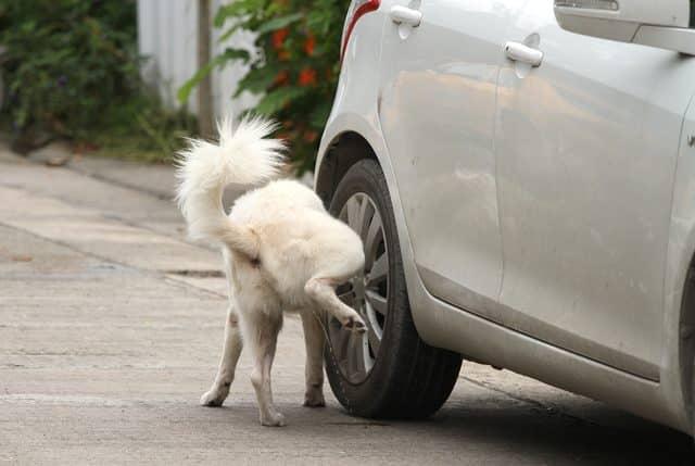 chien en train d'uriner sur une roue