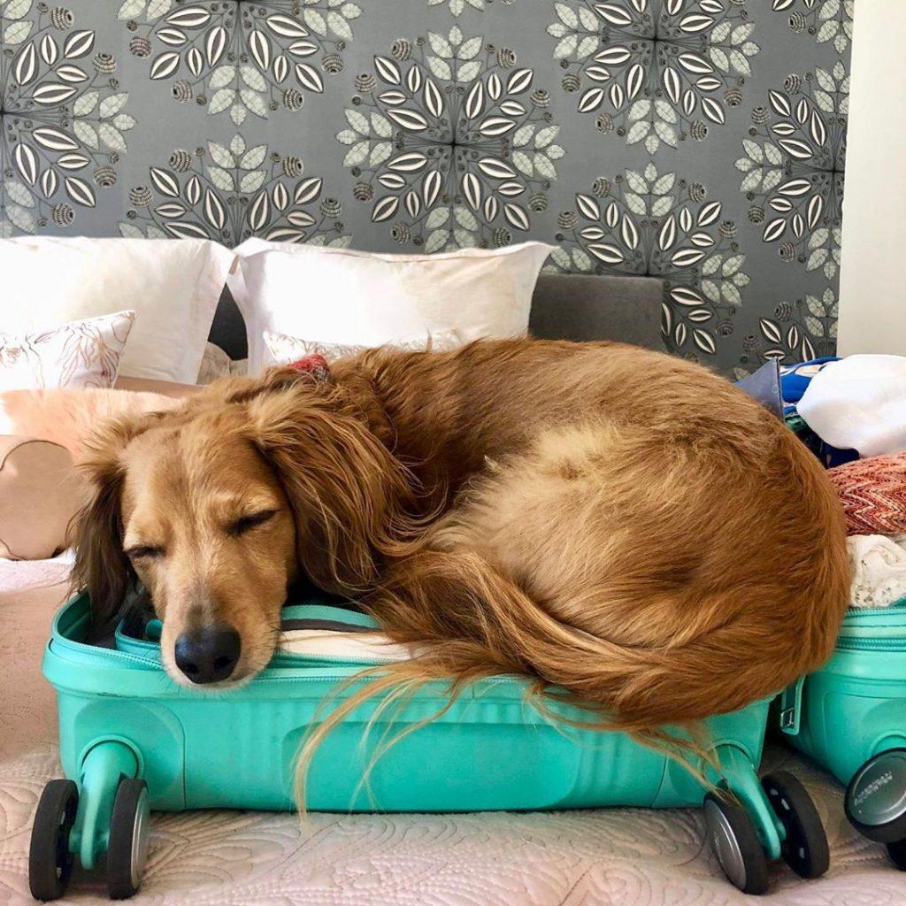 chien dort valise