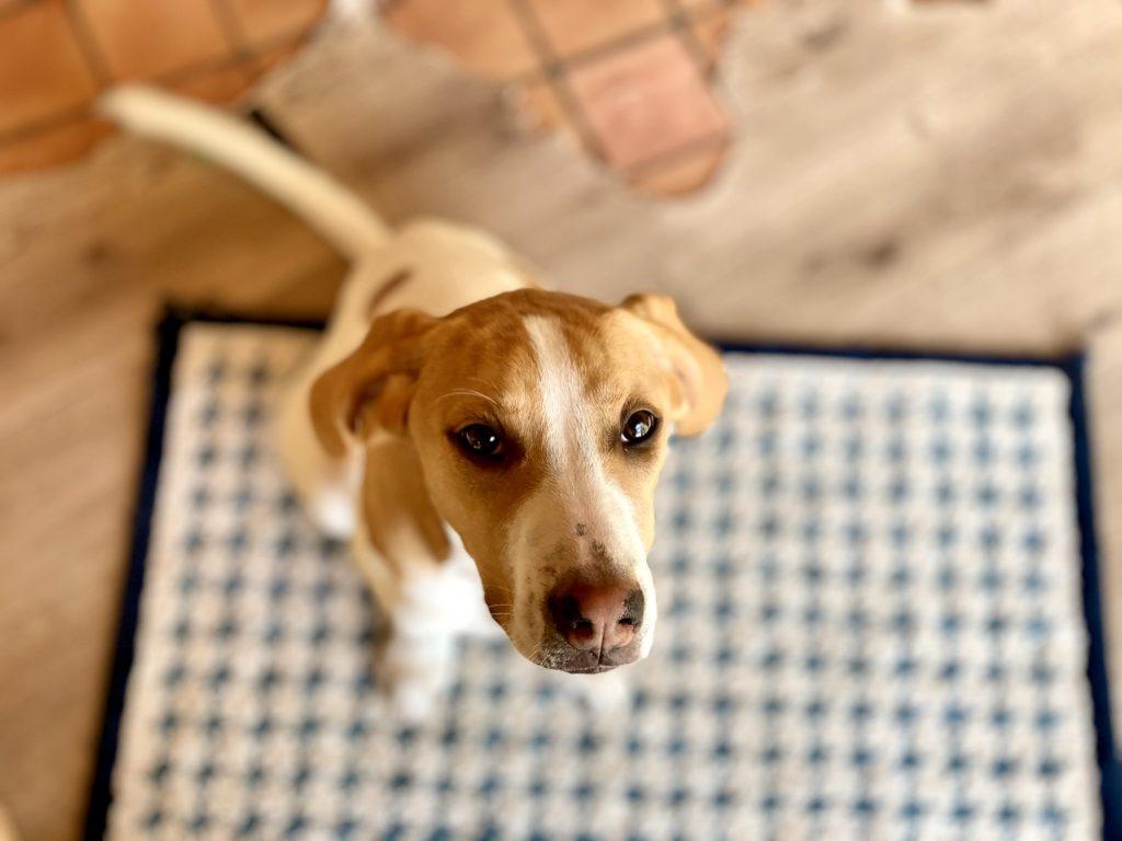 Photo d'un chien triste suite à une punition