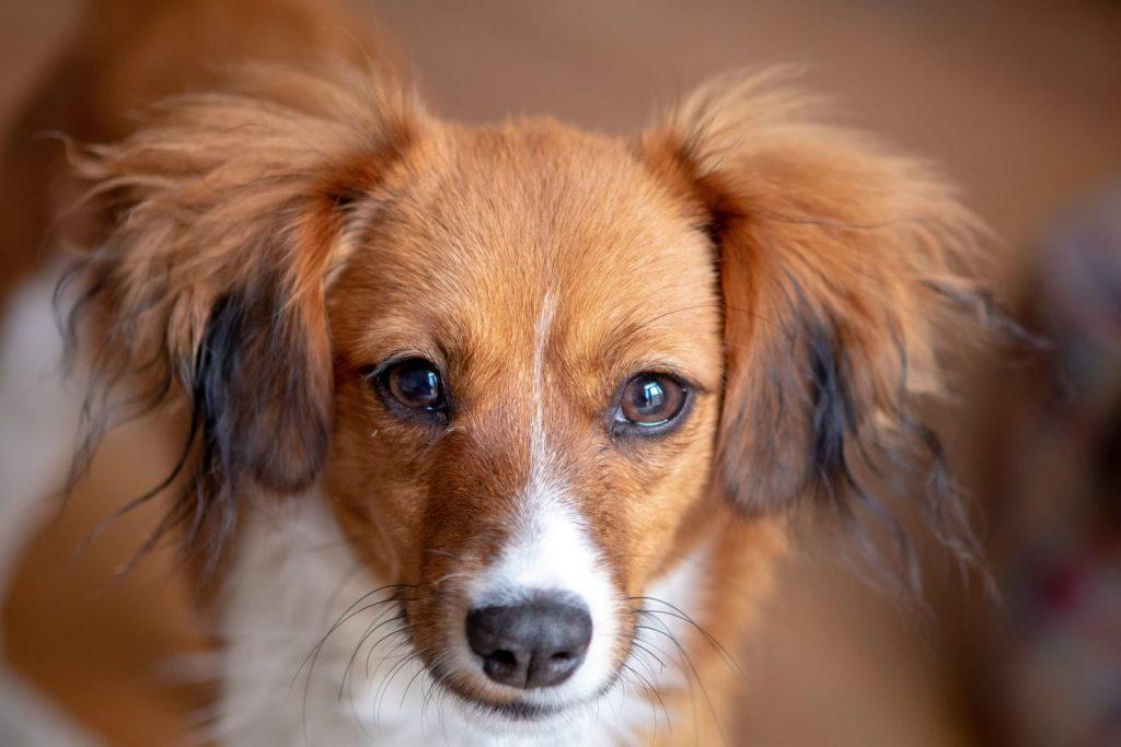 Petite chienne marron et blanche