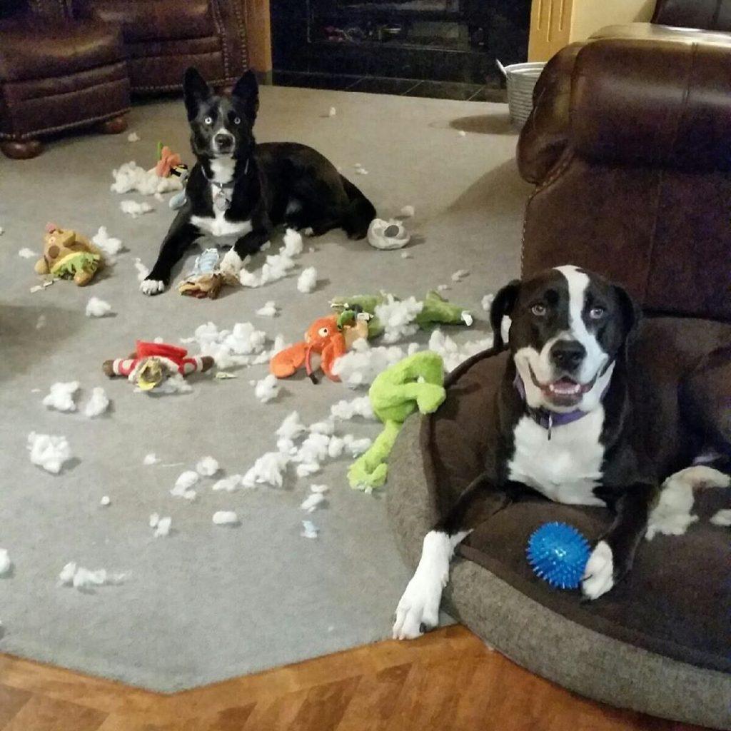 deux chiens destructeurs