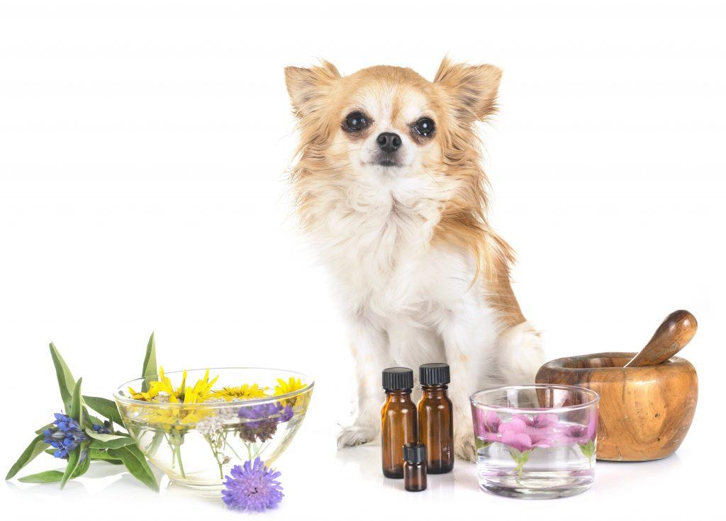 Un chien chihuahua assis à côté d'huiles essentielles