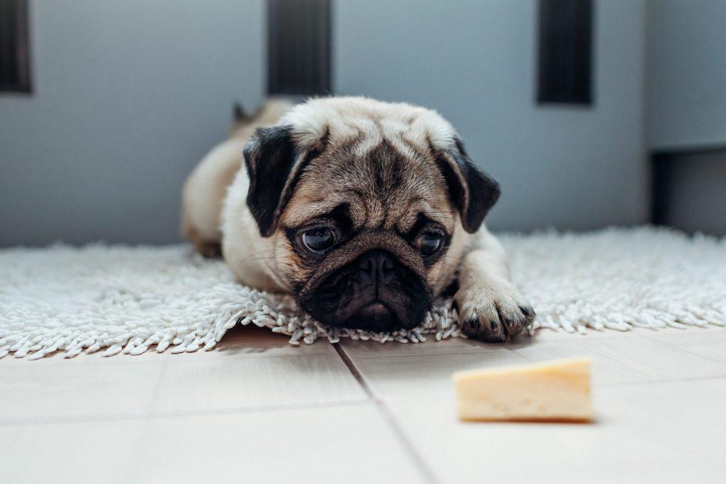 chien devant un morceau de fromage