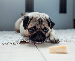 Le fromage est-il bon pour mon chiot ?