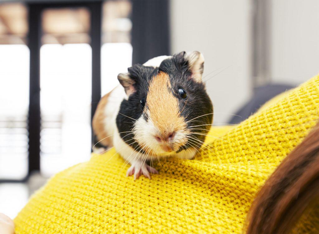 Cochon d'inde sur l'épaule de sa maîtresse