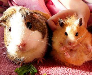 Cohabitation entre cochon d'Inde et autres animaux
