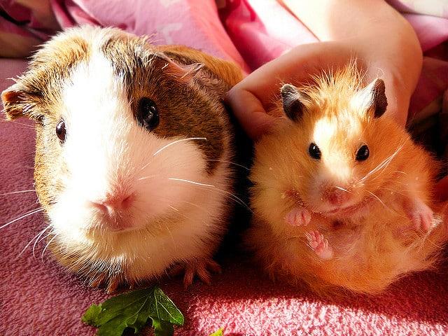 hamster et cochon d'inde