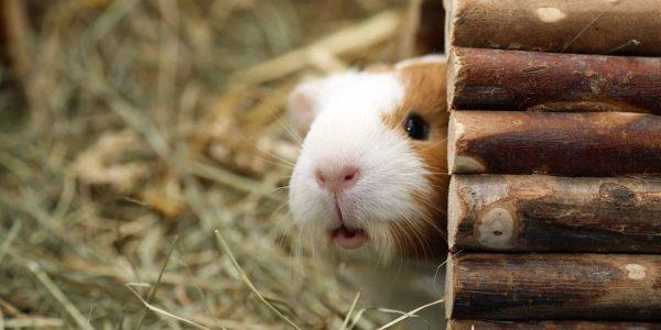 Adopter un cochon d'Inde : 10 questions à se poser