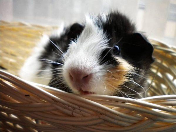 Le cochon d'Inde en liberté dans la maison