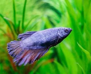 Acquérir un poisson combattant : conseils et infos