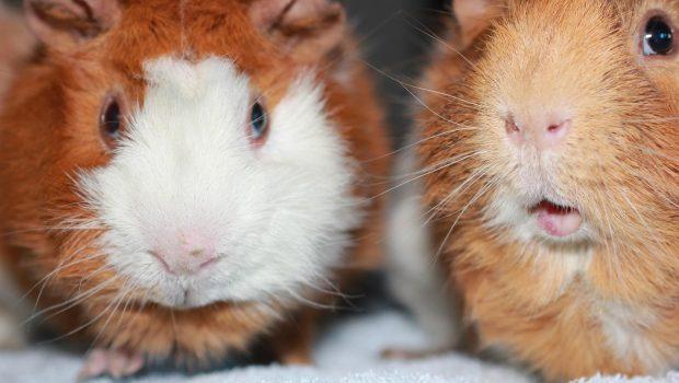 Cochon d'Inde : choisir un mâle ou une femelle ?