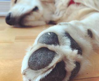 Coussinets du chien : comment les soigner, les entretenir et les protéger