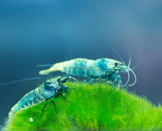 Quelles crevettes élever en aquarium ?
