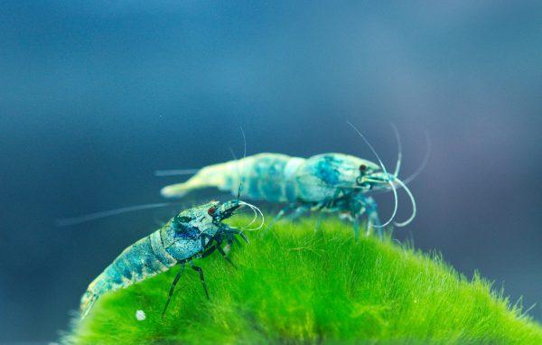 Quelles crevettes choisir pour mon aquarium ?