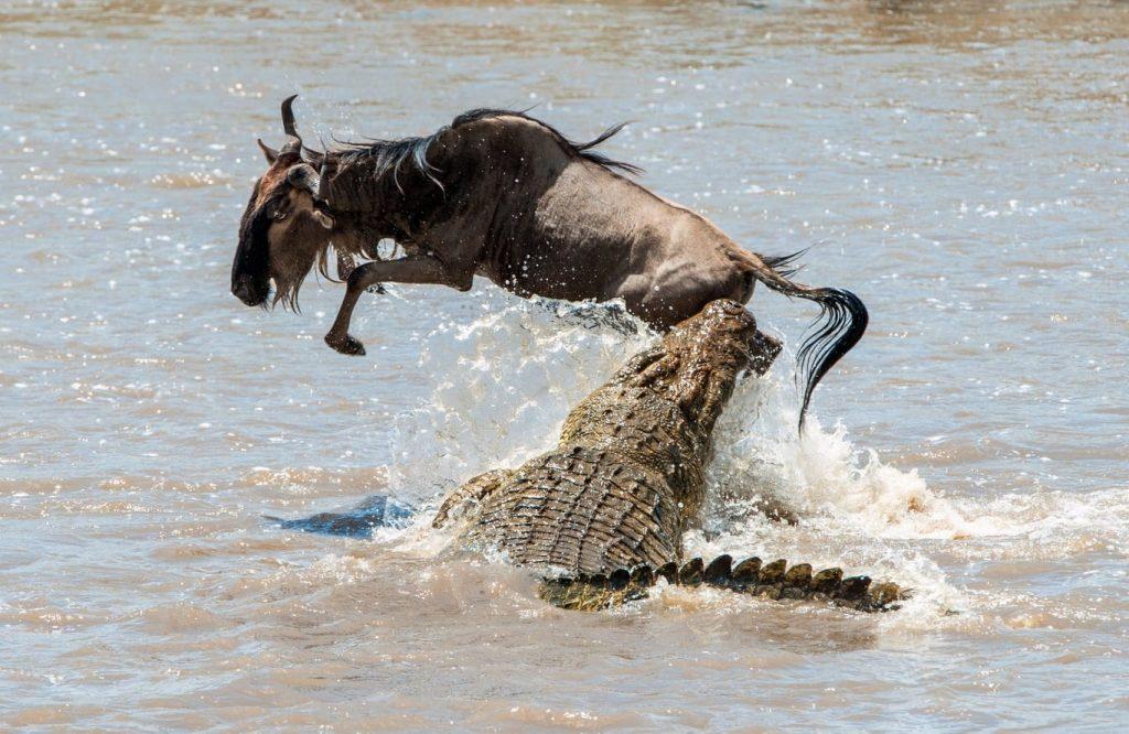 crocodile du nil qui chasse un gnou