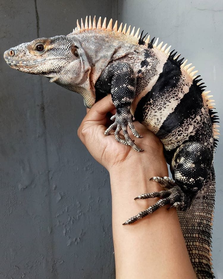 Ctenosaure noir