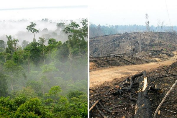 Comment l'huile de palme affecte-t-elle les orangs-outans ?
