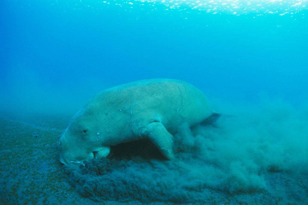 Dugong marin