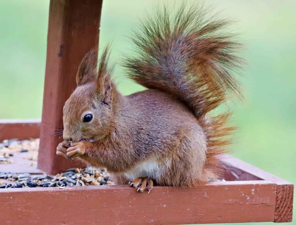 écureuil qui mange
