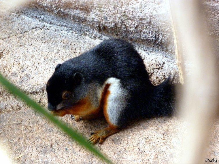 écureuil de prévost