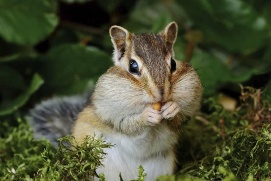 écureuil tamia de sibérie