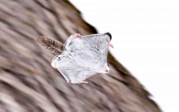 Les espèces d'écureuils les plus répandues